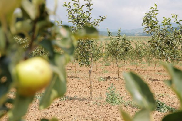 Nectar launches organic apple production on the 114 hectars